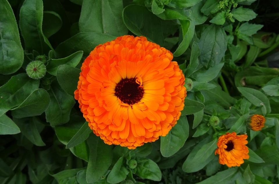 Ognjič - ognjeni cvet zdravja 1