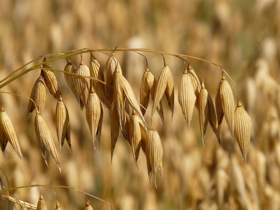 Oves - zdravju prijazna žitarica 1