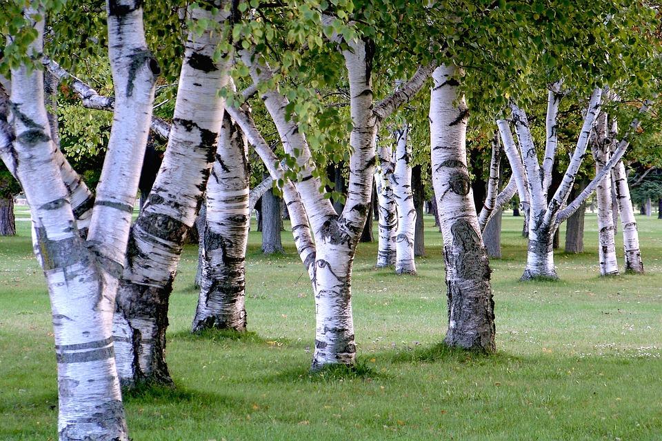 Priprava in zdravilni učinki brezovega čaja 5