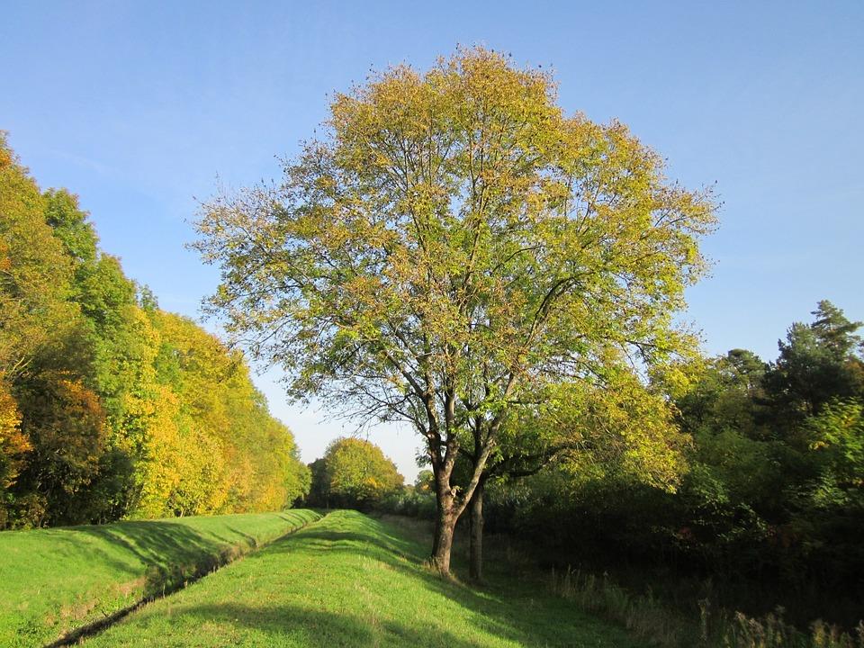 Veliki jesen - več kot le drevo 1