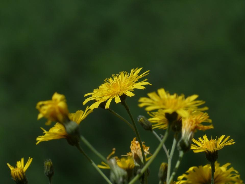 Travniška kozja brada - ena najokusnejših travniških rastlin