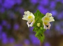 Navadna smetlika (Euphrasia rostkoviana)
