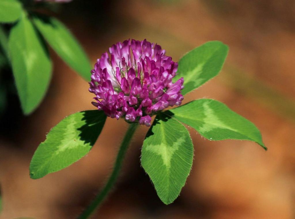 Črna detelja (Trifolium pratense L.) - rastlina z močnimi zdravilnimi učinki