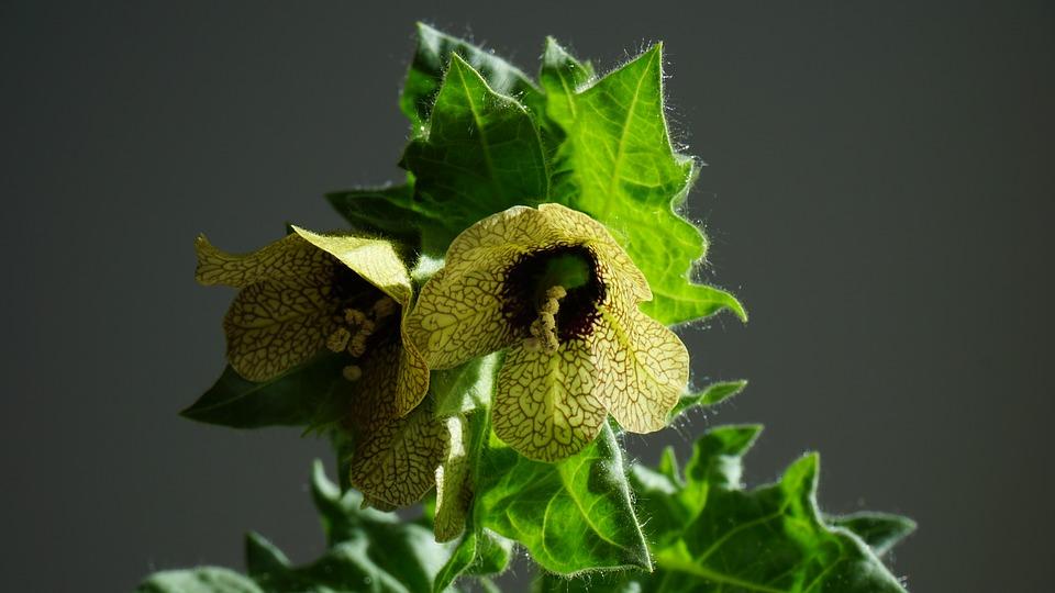 Strupene rastline v Sloveniji in znaki zastrupitve z njimi