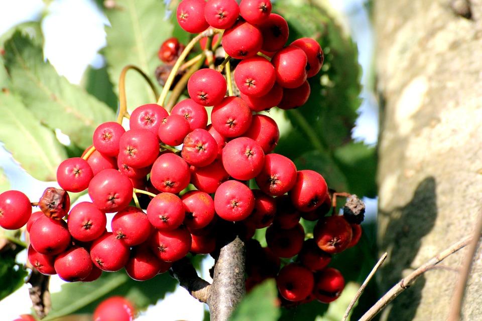 Jerebika (Sorbus aucuparia) - ščiti dom in naše zdravje