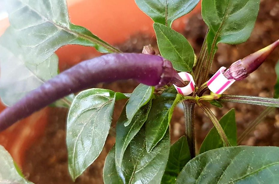 Zaščita cvetov - ohranjanje čistih semen samooplodnih vrst 1